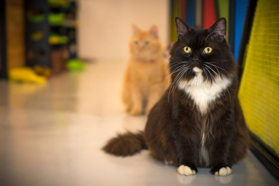 Tuxedo and Garfield. Photo courtesy: The Cat Cafe Facebook