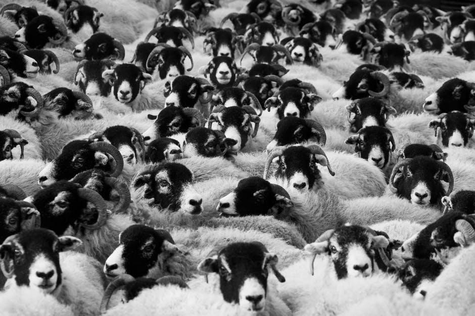 Singapore receives 3,700 sheep from Australia for Korban rituals
