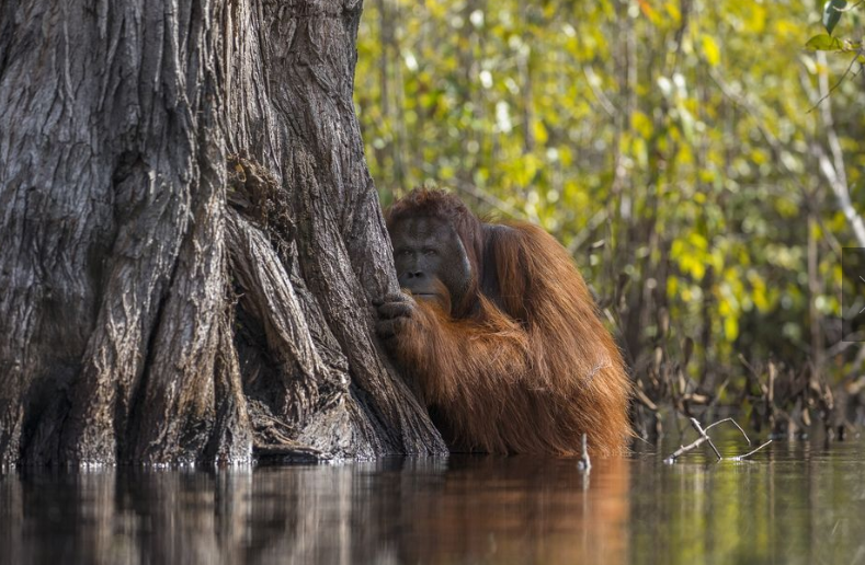 The photograph of a male orangutan crossing a river in Borneo taken by Jayaprakash Joghee Bojan has made the latter as National Geographic Nature Photographer of the year 2017.