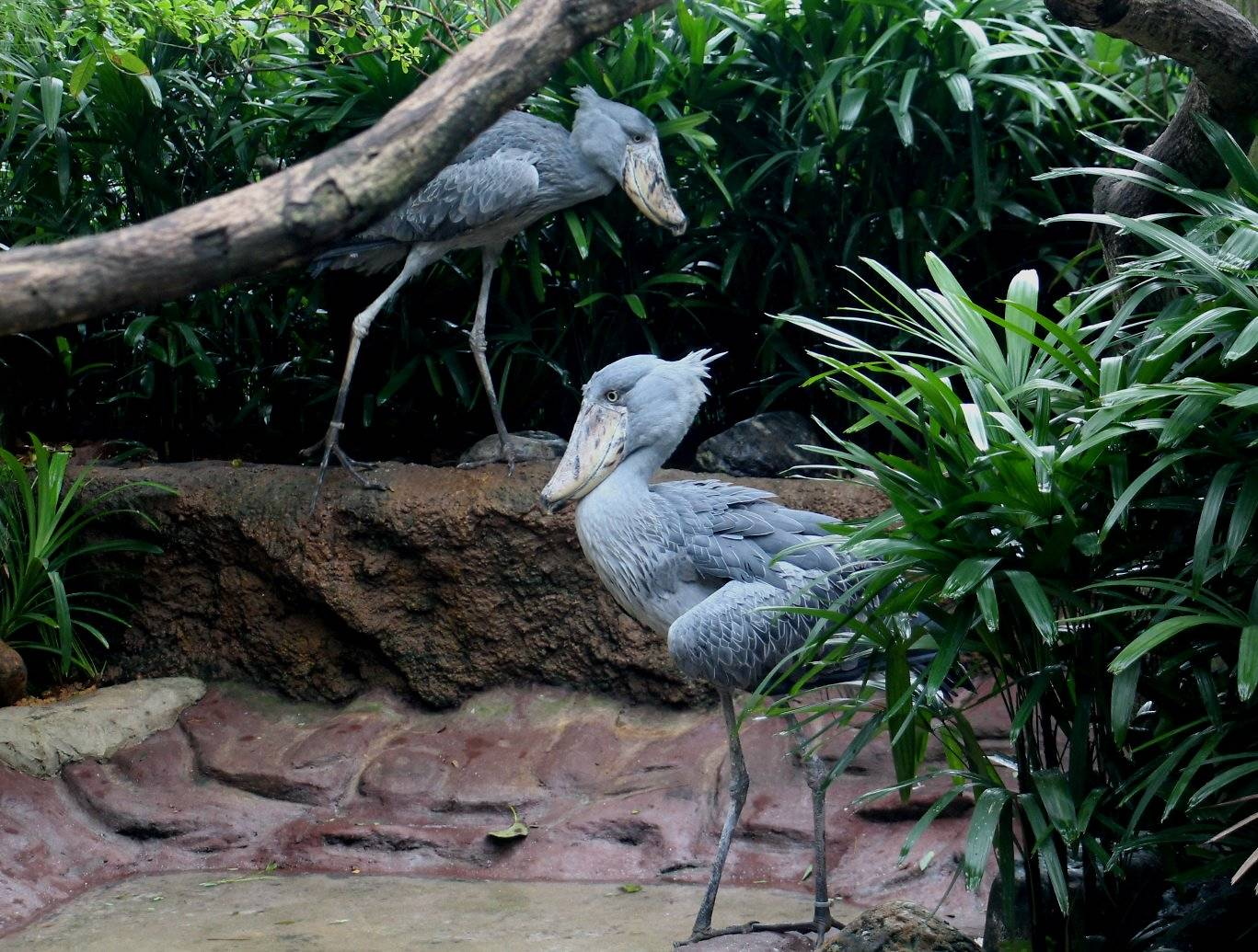 The latest attractions at the Jurong Bird Park are the Shoebill birds. Photo courtesy: Wildlife Reserves Singapore