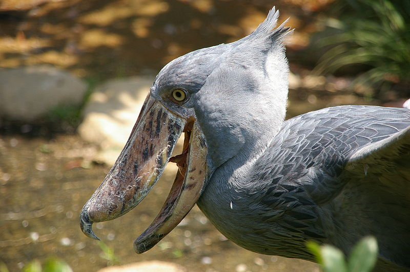 The signature feature of Shoebill birds is their huge, bulbous shoe-shaped bill which are more than 20cm long and have a sharp hook at the end for killing prey. Photo courtesy: Wikipedia