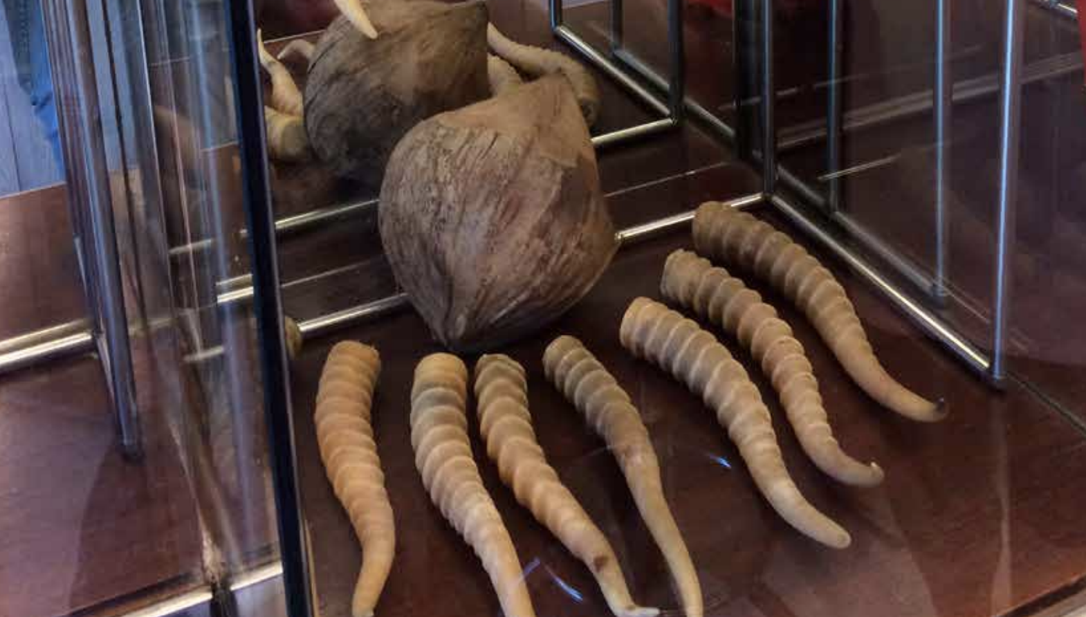 Endangered Saiga antelope's horns. Photo courtesy: Traffic
