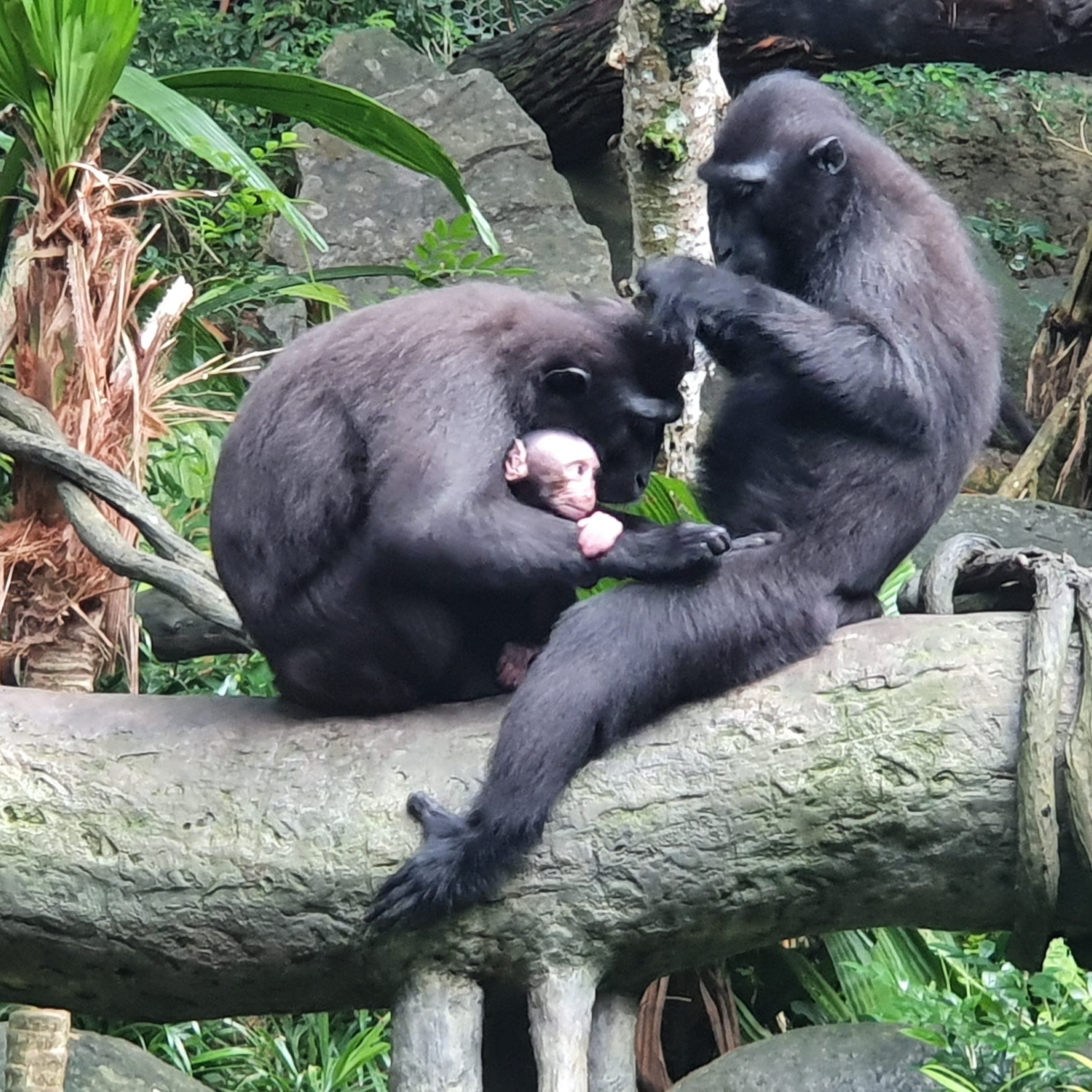 Celebes crested macaques are very social animals. Joyo can often be spotted snuggling up to his mother Dewi and aunt Ria during grooming sessions. Photo courtesy: Wildlife Reserves Singapore