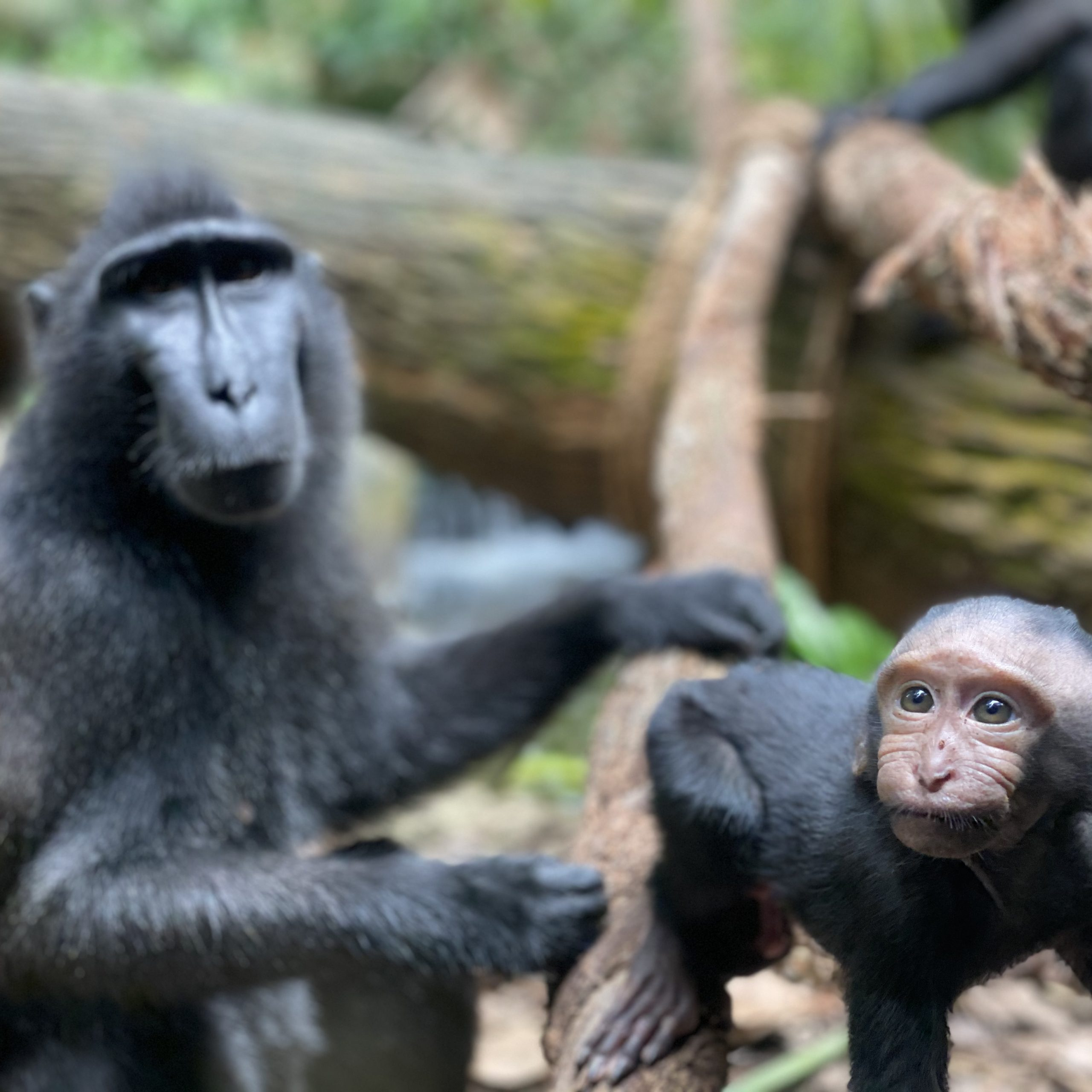 Celebes crested macaques can only be found in Sulawesi and its neighbouring islands. Singapore Zoo's newborn boy was named Joyo, an Indonesian name which means