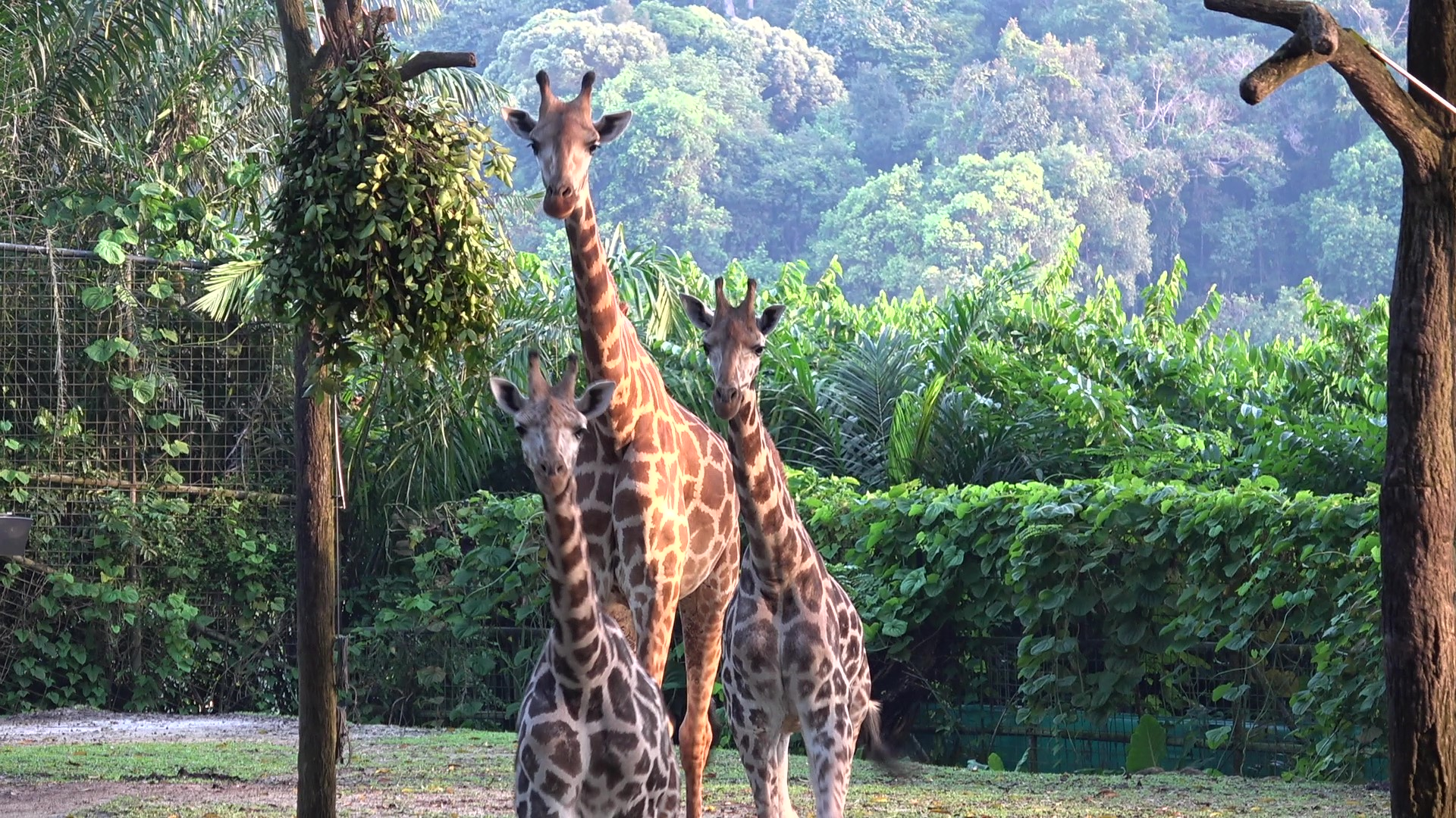 New kids on the block Balaji (leftmost) and Adhil (rightmost) explore Singapore Zoo's giraffe exhibit while a towering Jubilee (middle) keeps a watchful eye over the juvenile brothers. Photo courtesy: Wildlife Reserves Singapore